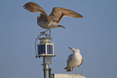 Gulls landing on a pole Stock Image