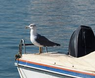 Gulls Or Larus Species On Boat In The Algarve Portugal. Gulls or Larus species resting on boat in the Algarve Region in Piortugal Royalty Free Stock Photo
