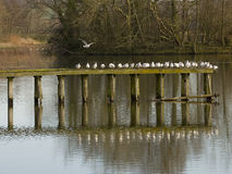 Gulls lined up on a Jetty Royalty Free Stock Photography