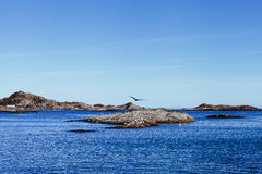 Gulls in Lofoten Islands in a sunny day. Royalty Free Stock Image