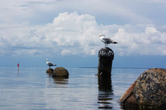 Gulls on a log in the sea. Sea background with birds. Beautiful landscape with sea birds. Seagulls closeup Stock Image