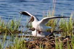 Free Gulls Mating Royalty Free Stock Photography - 16964957