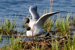 Gulls mating Stock Photography