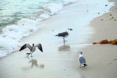Gulls on Miami South Beach Stock Photo