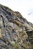 Gulls nesting on a cliff face Stock Photography