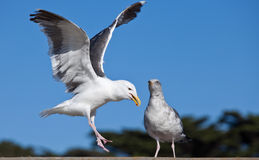 Gulls (often informally called seagulls) Stock Photos