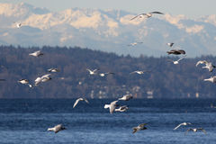 Gulls over Puget Sound Stock Image