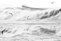 Silver gulls over stormy sea. Black-and-white image of Silver gulls gliding over the tossing sea. Monochrome positive picture Stock Photo