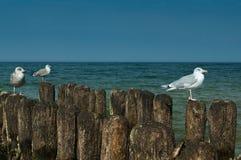 Gulls piacevole Fotografie Stock Libere da Diritti