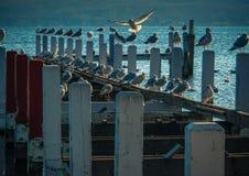 Gulls on Pier. Gulls perching on old, broken pier at sunset Stock Photos