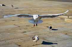 Gulls and pigeons Royalty Free Stock Photos