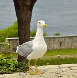 Gulls posing. Royalty Free Stock Photo