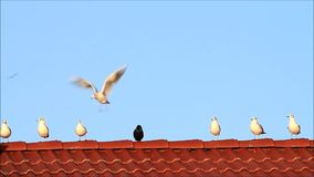 gulls and a raven in the middle on red tiled roof stock video footage