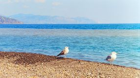 Gulls are resting. Two seagulls sitting on the beach Royalty Free Stock Images