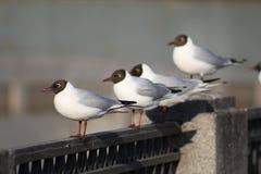 Gulls. River gulls on the parapet Stock Photos