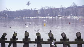 Gulls on the river stock video footage