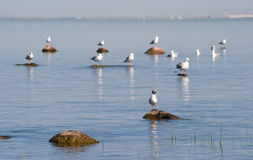 Gulls on the rocks Royalty Free Stock Photography