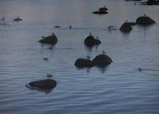 Gulls on the rocks. Kola bay Stock Photo