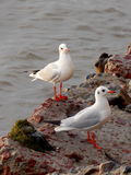 Gulls on the rocks Stock Images