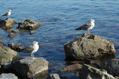 Gulls on the rocks Royalty Free Stock Photos