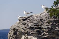 Gulls on the rocks Stock Image