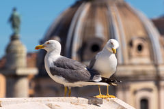 Gulls in the Roman Forum in Rome Royalty Free Stock Images