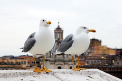 Gulls in rome Stock Photography