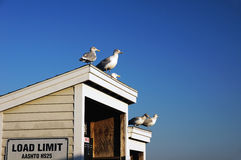 Gulls on the Roof. Sea gulls on the roof of the shed stock photography