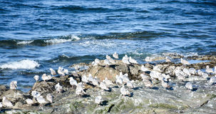 Gulls Roost on Rocks-2 Royalty Free Stock Images
