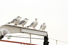 Gulls on the roost Royalty Free Stock Photo