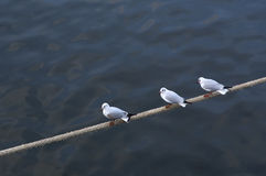 Gulls on a rope Stock Image