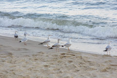 Gulls on the sea coasts. Seagull walking by the sea in summer royalty free stock photo