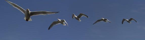 Gulls Stock Photos