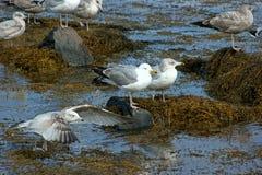 Gulls on seaweed and rocks. Several seagulls on seaweed and rocks on the coast of Maine Stock Photos