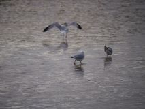 Gulls in the Shallows Stock Photography