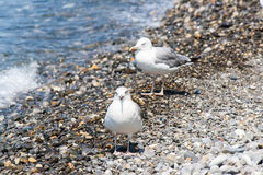 Gulls on the shore Royalty Free Stock Image