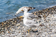 Gulls on the shore Stock Photography