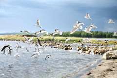 Gulls on the shore of the White Sea. The shore of the White Sea and flying seagulls Royalty Free Stock Image