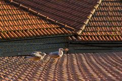 Gulls sitting on old tiled roofs. Nature. Royalty Free Stock Photos