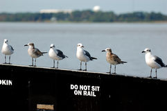 Gulls sitting on a rail Stock Photography