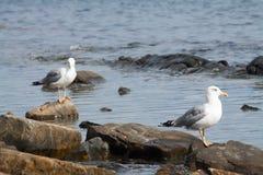 Gulls sitting on stones on the seashore royalty free stock images