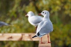 Gulls sitting on the wood Stock Image