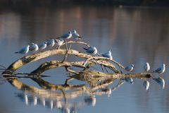 Gulls sitting on wood in a river with a reflection on the surface. Gulls sitting on wood at sunset. Reflection of gulls and wood on the surface. Photographed Stock Image