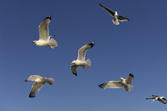 Gulls in the sky Royalty Free Stock Image
