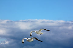The gulls in the sky. The birds are flying in the blue sky Stock Photos