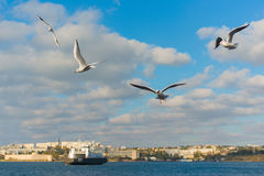 Gulls in the sky Stock Images