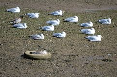 Gulls sleeping on the shore and one clever, innovative gull. A group of gulls, Herring Gulls, sleeps on the shore of the Axe estuary in Devon. One innovative stock photography
