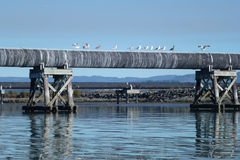 Gulls on the slough. Paddling on the Mad River Slough, Arcata, CA on Sunday, January 5, 2014 Royalty Free Stock Photo