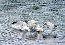 Gulls snipping at each other. Stock Photos