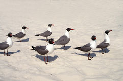 Gulls standing on beach Royalty Free Stock Photography
